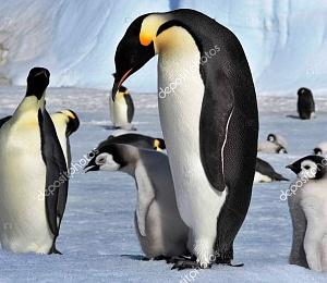 Нажмите на изображение для увеличения Название: emperor penguins with chicks.jpg Просмотров: 0 Размер:117.0 Кб ID:1382260